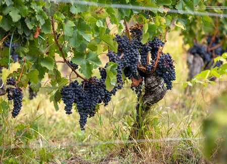 Red wine grapes ready to harvest and wine production. Saint Emilion, France Stock Photo