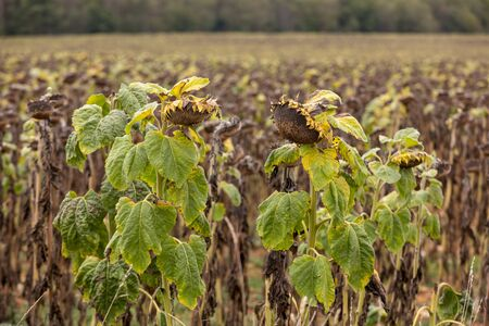 Field of drying sunflowers in Aquitaine. France