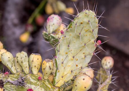 Opuntia vulgaris is a species of cactus that has long been a domesticated crop plant important in agricultural economies throughout arid and semiarid parts of the world.