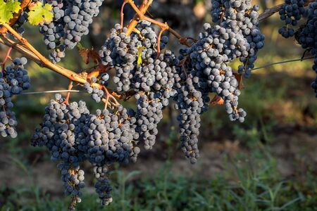 Close up of red merlot grapes in vineyard. Medoc, Gironde, Aquitaine. France