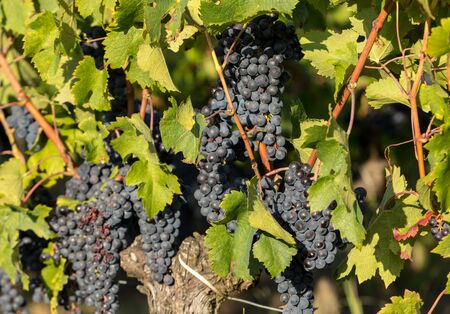 Red wine grapes ready to harvest and wine production. Saint Emilion, France Banque d'images