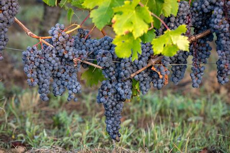 Red wine grapes ready to harvest and wine production. Saint Emilion, France Banco de Imagens
