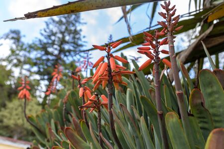 Aloe plant in bloom. Spectacular tall bright orange tubular flower spikes of an Aloe succulent species in  bloom are decorative and long lasting Stock Photo