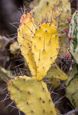 Opuntia vulgaris is a species of cactus that has long been a domesticated crop plant important in agricultural economies throughout arid and semiarid parts of the world.  Imagens