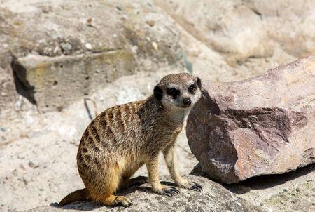 Suricata suricatta know as Meerkat basks in the sun