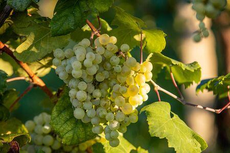 Prosecco white grapes on a vineyard befor harvesting in Valdobbiadene hills. Veneto. Italy