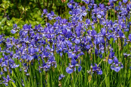 Blue flowers Iris versicolor beautifully blooming in the garden