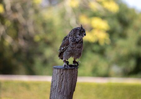 Beauty Eurasian Eagle Owl on blurred background
