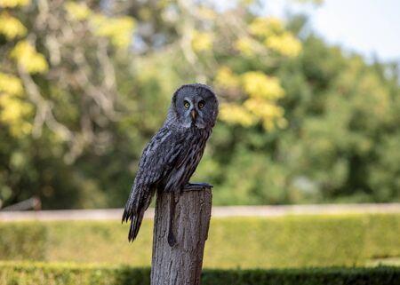 Great grey owl (Strix nebulosa). Night birds of prey Standard-Bild