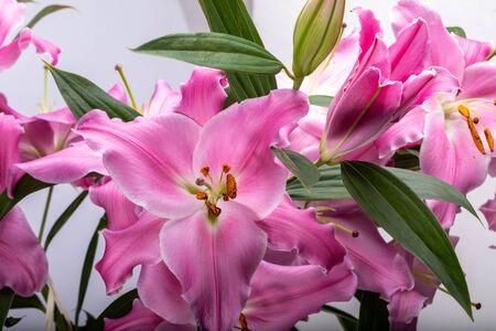 Primer plano de flores liles rosadas. Los nombres comunes para las especies de este género incluyen lirio de hadas, lirio de lluvia, lirio de céfiro, lirio mágico, lirio de Atamasco y lirio de lluvia.