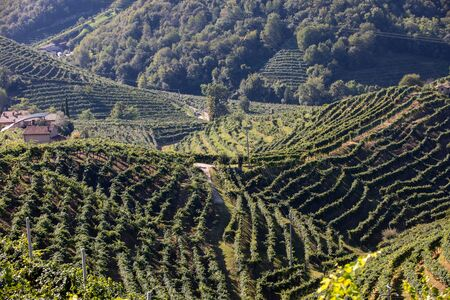 Picturesque hills with vineyards of the Prosecco sparkling wine region between Valdobbiadene and Conegliano; Italy.
