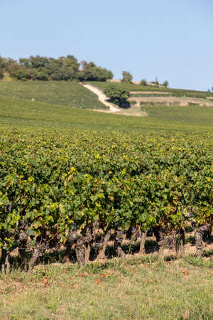 Ripe red grapes on rows of vines in a vienyard before the wine harvest in Saint Emilion region. France