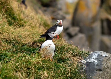 The Atlantic puffin, also known as the common puffin Zdjęcie Seryjne