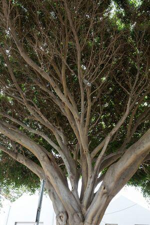 Southern Magnolia, Magnolia grandiflora - old magnolia tree in  funchal public park on Madeira. Portugal