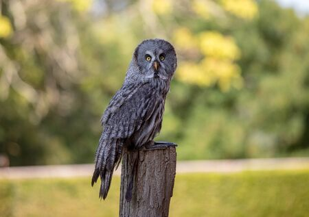 Great grey owl (Strix nebulosa). Night birds of prey Archivio Fotografico