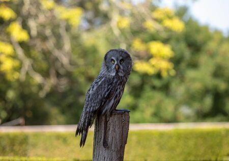 Great grey owl (Strix nebulosa). Night birds of prey Reklamní fotografie