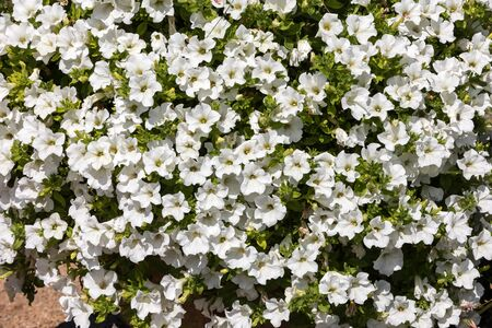 Many white flowers of Petunia in the park, background Standard-Bild