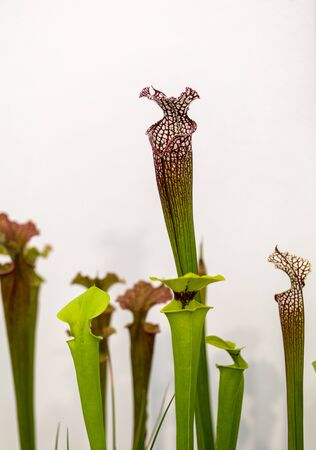 Carnivorous plants at the flower exhibition in Funchal, Madeira. Portugal. Stok Fotoğraf