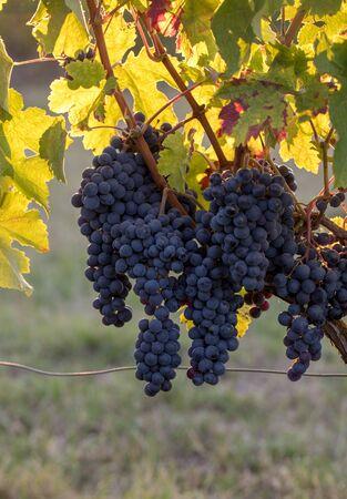 Ripe Merlot grapes lit by warm late sunshine in Montagne vineyard near Saint Emilion, Gironde, Aquitaine. France