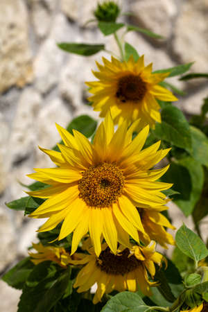 Blooming sunflowers against the background of a limestone wall Stock Photo
