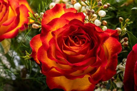 beautiful bouquet of colorful roses 版權商用圖片