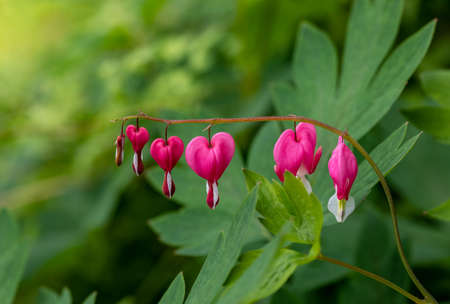 Heart-shaped Bleeding heart flower in pink and white color Archivio Fotografico