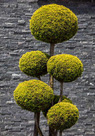 Topiary Art of Clipping Shrubs and Trees in the Garden. Sphered Thuja Zdjęcie Seryjne