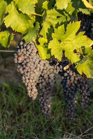 Close up of red merlot grapes in vineyard. St. Emilion, Gironde, Aquitaine. france Banco de Imagens