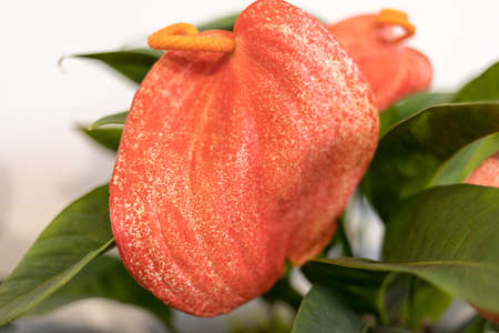 Close-up of Flamingo Flower or Anthurium scherzerianum red blossom