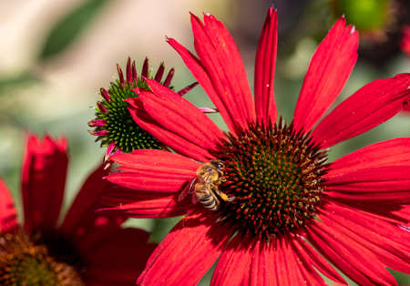 Flowers of Echinacea - an herb stimulating the immune system Stock Photo
