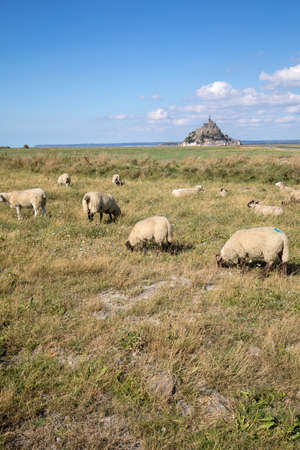A flock of sheep grazing on the salt meadows close to the Mont Saint-Michel tidal island under a summer blue sky. Le Mont Saint Michel, France Фото со стока
