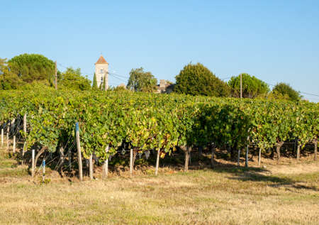 Ripe red Merlot grapes on rows of vines in a vienyard before the wine harvest in Saint Emilion region. france