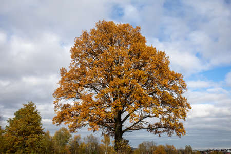 Oak tree with golden autumn foliage in sunny day. Colorful autumn landscape.