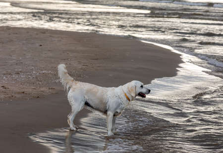 Golden retriever plays in the water on the beach