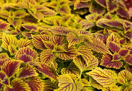 Floral carpet of red and green leaves of the coleus. Nature scene with decorative leaf garden plants. Reklamní fotografie