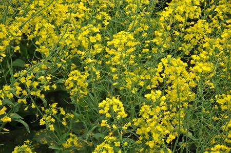 canola plant: Floral field