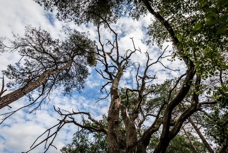 bald tree betwee green trees Фото со стока