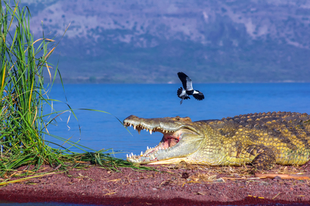 Bird attacks crocodile
