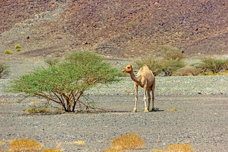 Camel with acacia Standard-Bild - 101444312