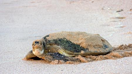 Green turtle laying eggs Standard-Bild - 101444618