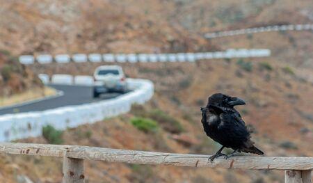 Raven in focus Stock Photo