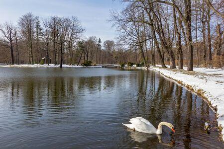 Swan in Zabeltitz