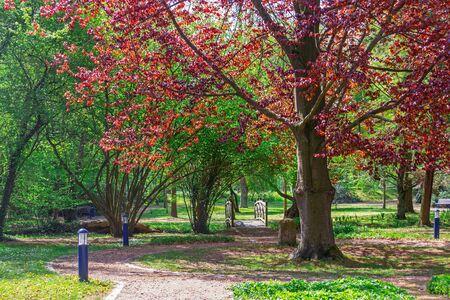 European beech in the park