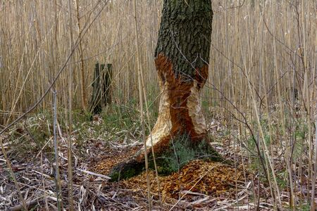 Nibbled tree from beaver