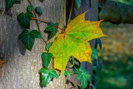Autumn leaf on the tree Standard-Bild