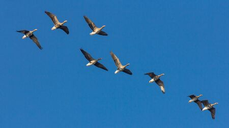 Goose in the air