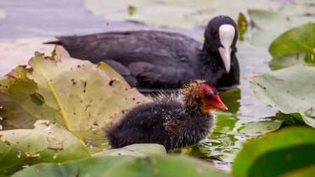 Coot with chickens