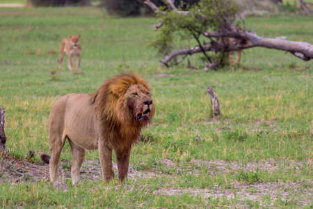 A lion with a lioness in the background Standard-Bild