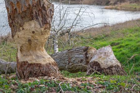 A tree nibbled by a beaver Standard-Bild