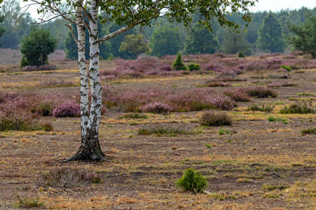 a birch in a nature reserve with heather